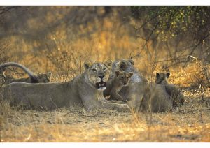 Asiatic Lion, Gir, Gujarat , Wildlife