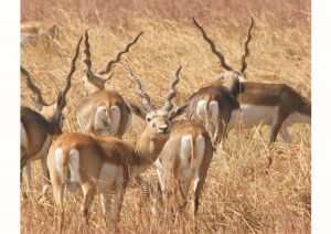 Black Buck Velavadar National Park, Gujarat, Wildlife