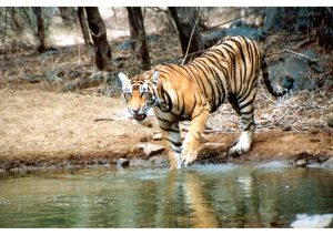 Tiger, Ranthambore National Park. Rajasthan, Wildlife