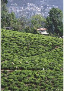 Tea Garden and Town, Nilgiris, Kerala,South India