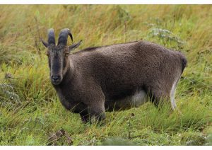 The Endangered Nilgiri Tahr, Kerala,Wildlife