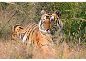 Tiger, Bandhavgarh National Park, Madhya Pradesh, Wildlife
