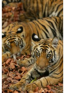 Tiger Cubs, Bandhavgarh National Park, Madhya Pradesh, Wildlife